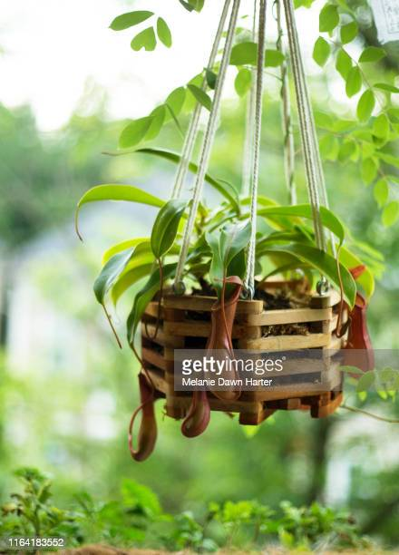 pitcher plant - hanging basket stock pictures, royalty-free photos & images