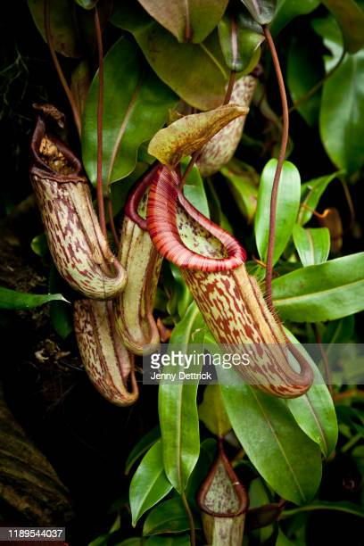pitcher plant - carnivorous stock pictures, royalty-free photos & images