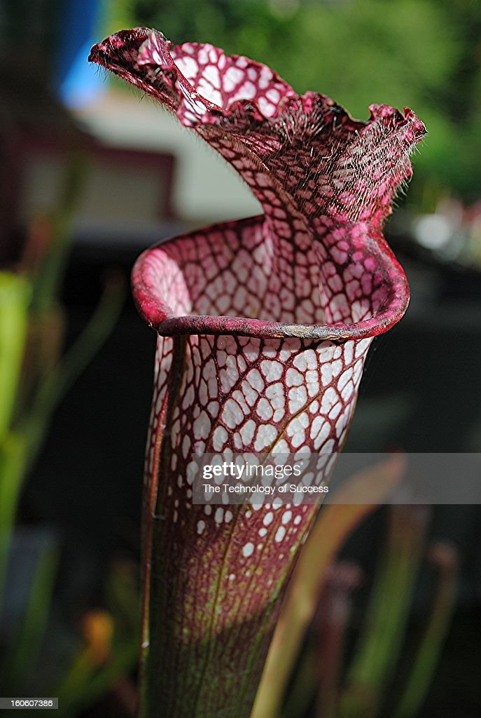 CONTENT] Pitcher plants are carnivorous plants which trap food using a pitfall trap built into them through evolutionary design. They can be found in both of the Americas as well as Africa, Asia, and Australia, and usually grow in bogs, marshlands, and areas of waterlogged, acidic soil. Pitcher plants have developed a carnivorous habit to compensate for poor soil nutrition, but they are also capable of absorbing nutrients through their simple root systems. In addition to growing in the wild, pitcher plants are cultivated in many botanical gardens as a form of natural insect control, and can serve the same purpose in the home, as well as being decorative. In botanical gardens, pitcher plants are usually grown in warm, humid indoor environments. The term pitcher plant is an umbrella name for plants in two families, Sarraceiniaceae and Nepenthaceae. In both, the leaves curl in on themselves to form tall, distinctive pitchers. The pitchers are often streaked with red to attract insects and lined with fine hairs and grooves so once insects fall in, they cannot escape. Water collects in the bottom of the pitcher, drowning unwitting insect visitors, and the plant secretes digestive enzymes to extract nutrients from the insects. In some cases, pitcher plants also live in a symbiotic relationship with insects in larval form, allowing the larvae to eat trapped insects and later consuming some of them. Tropical Pitcher Plants, Nepenthes sp.