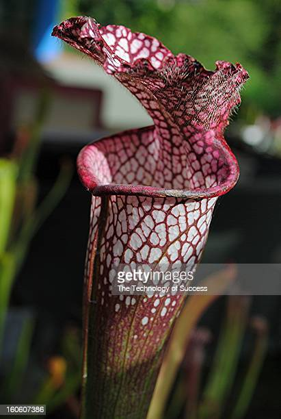 Pitcher plants are carnivorous plants which trap food using a pitfall trap built into them through evolutionary design. They can be found in both of...