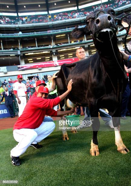 Pitcher Rafael Rodriguez of the Los Angeles Angels of Anaheim participates in the Angels' annual cow milking contest before the game with the Kansas...