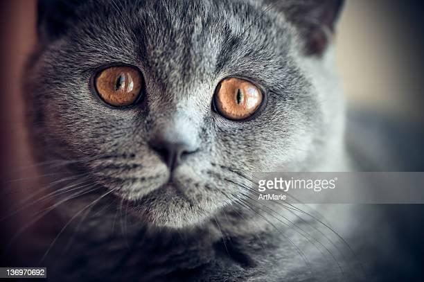 ウヨウヨ英国ショートヘア種の猫