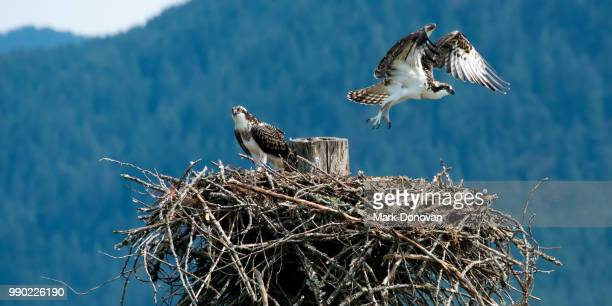 pitt lake osprey - eagle nest stock photos and pictures