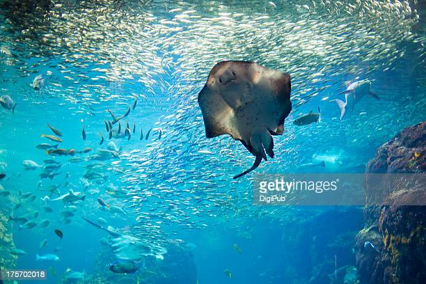 pitted stingray in aquarium - stingray stock photos and pictures