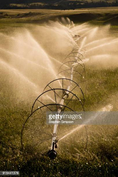 Pivot irrigation system spraying water on crops in wheat field