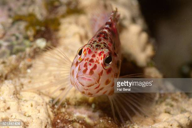 pixy hawkfish - hawkfish stock pictures, royalty-free photos & images