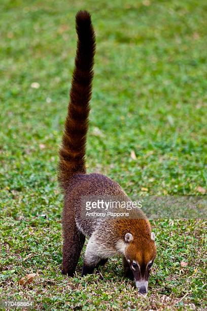 pizote in tikal park - coati stock pictures, royalty-free photos & images