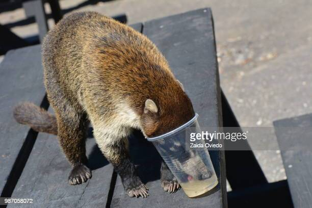 pizote sediento - duck billed platypus stock pictures, royalty-free photos & images