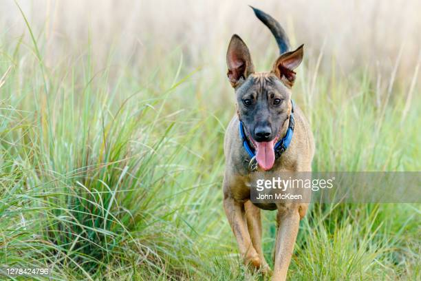 places to go, things to sniff and smell - belgian malinois stock pictures, royalty-free photos & images