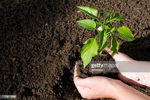 Placing Plant in the Dirt