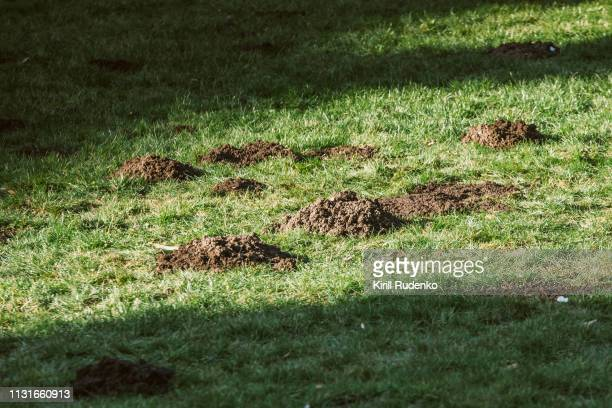Plague of mole hills on the lawn