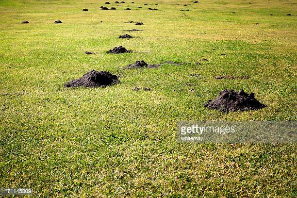 plague of mole hills - pest stock photos and pictures