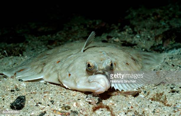 Plaice (Pleuronectes platessa), Atlantic Ocean, Europe.