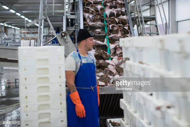 Plaice travel up a conveyor during fish sorting and cleaning ahead of auction at the port of Den Helder Netherlands on Friday Aug 4 2017 Prime...