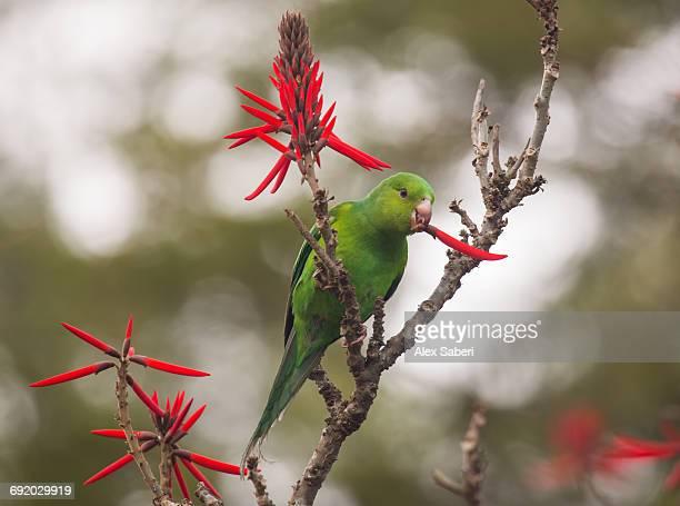 plain parakeet, brotogeris tirica, resting and eating on a coral tree in sao paulos ibirapuera park. - alex saberi stock-fotos und bilder