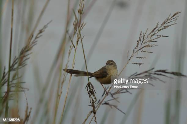 Plain prinia sparrow spotted at Wetland Basai on December 2 2017 in Gurgaon India 28000 migratory and domestic birds have reached Sultanpur National...