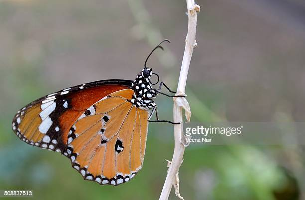 Plain Tiger Butterfly close-up