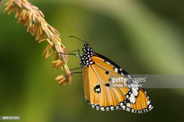 Plain Tiger butterfly macro