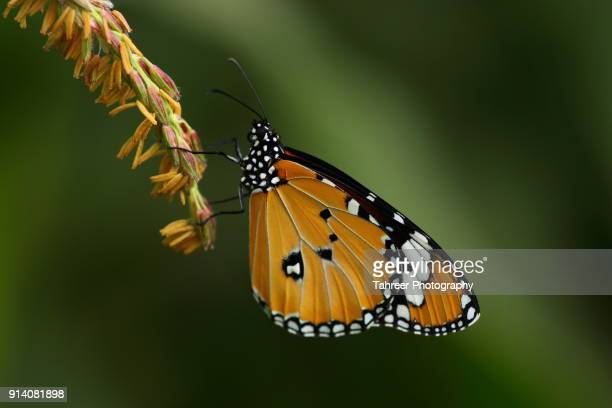 Plain Tiger butterly