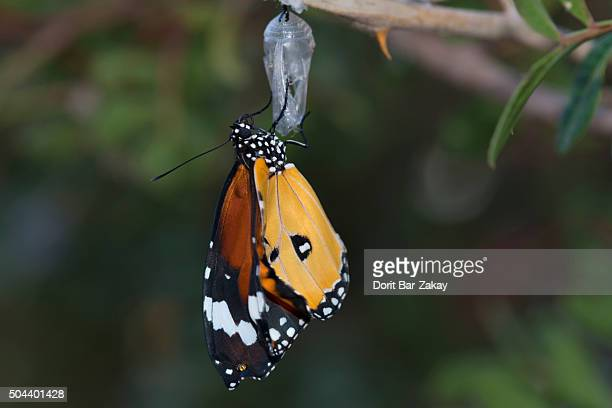 Plain Tiger (Danaus chrysippus) hatching from the cocoon
