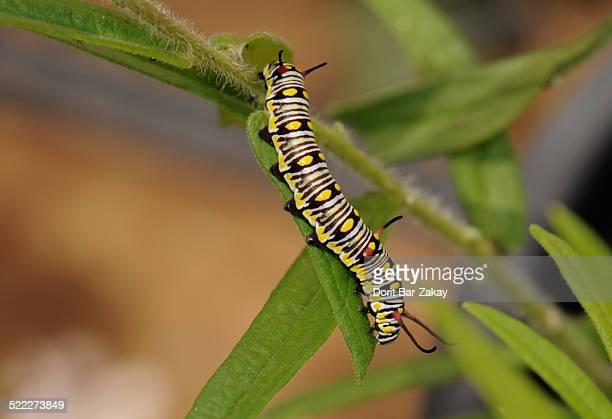 Plain Tiger ( Danaus chrysippus) - larva