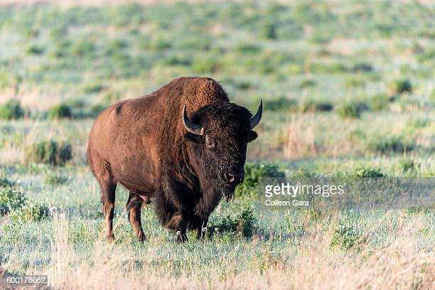 Plains Bison, Grasslands National Park, Saskatchewan, Canada
