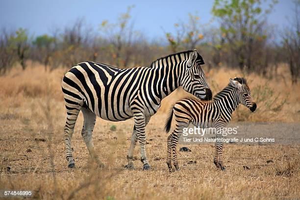 Plains zebra burchell