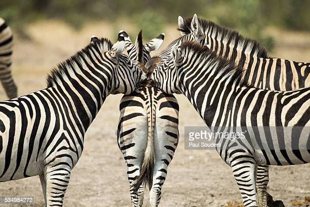 Plains Zebra, Chobe National Park, Botswana