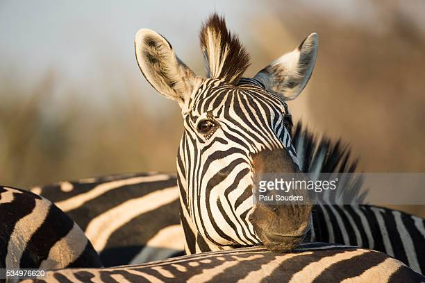 Plains Zebra Herd, Moremi Game Reserve, Botswana