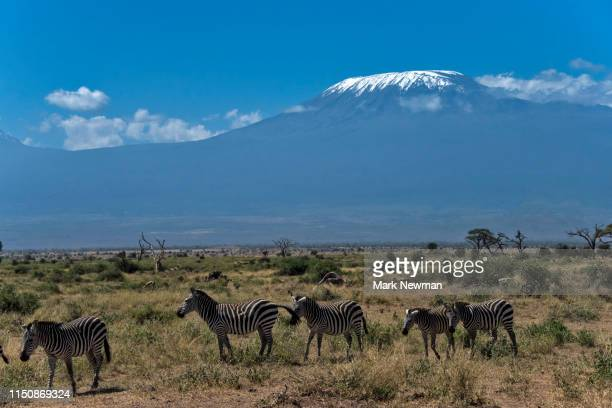 plains zebra in wild and mt. kilimanjaro - kenya newman stock pictures, royalty-free photos & images