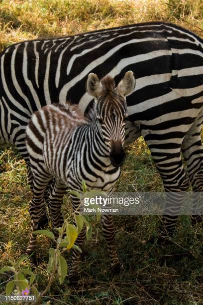 plains zebra in wild - kenya newman stock pictures, royalty-free photos & images