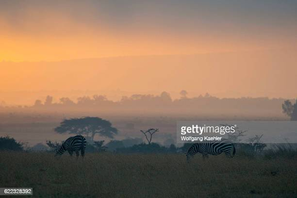 Plains zebras also known as the common zebra or Burchell's zebra silhouetted at sunrise at the Ol Pejeta Conservancy in Kenya