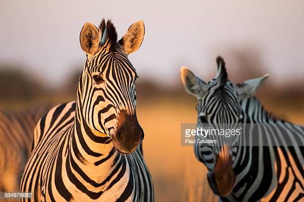 Plains Zebras at Sunset, Moremi Game Reserve, Botswana