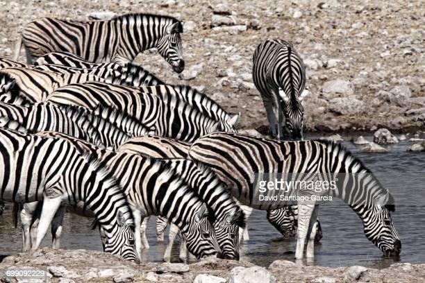 Plains Zebras Equus quagga group drinking Namibia Africa