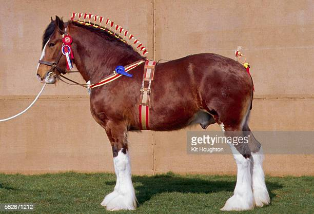 plaited shire horse - shire horse stock pictures, royalty-free photos & images