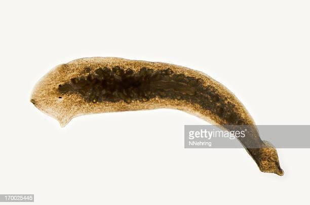 planaria, Dugesia Arten, Aufnahme