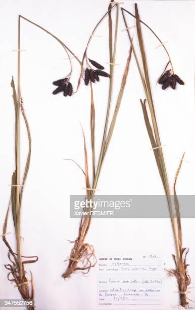 Planche de l'herbier de Denis Jordan en HauteSavoie France