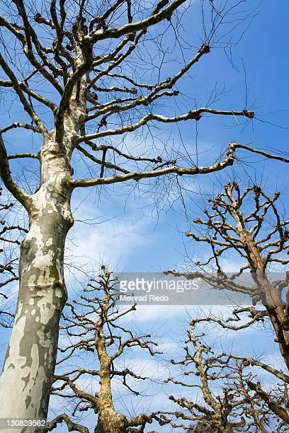 plane or sycamore trees (platanus acerifolia) - sycamore tree stock photos and pictures