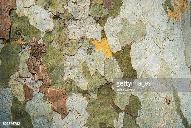 plane tree trunk - bark stock pictures, royalty-free photos & images