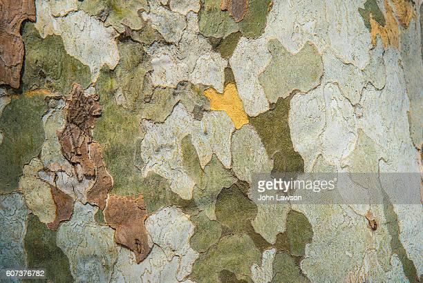 plane tree trunk - camuflaje fotografías e imágenes de stock