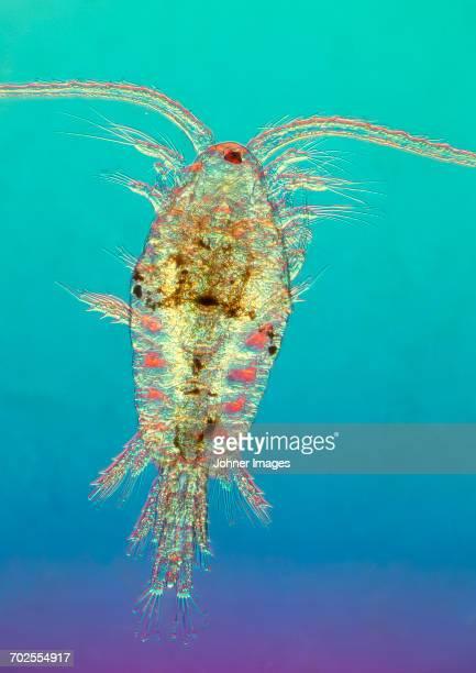 Plankton, close-up