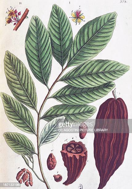 Plant and fruit of the Cacao Tree 19thcentury Germancoloured print