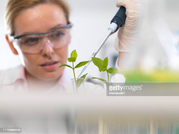 plant biotechnology, scientist growing various strains of plant to develop disease resistance - environmental conservation stock pictures, royalty-free photos & images
