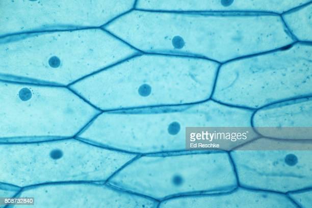 Plant Cells, Onion Bulb Epidermis