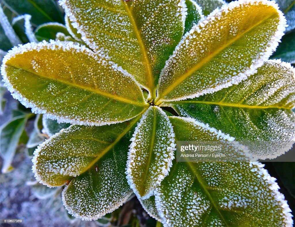 Plant covered in winter hoar frost : Stock Photo