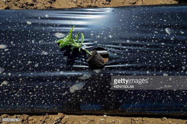 A plant during the cultivation stages of vegetables and fruit in preparation for the summer harvest in southern Italy