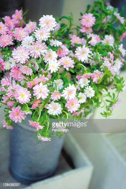 plant, flower, blossom, pink, pot, chrysanthemum - chrysanthemum fotografías e imágenes de stock