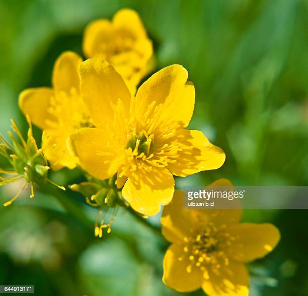 Plant Flower marshmarigold kingcup