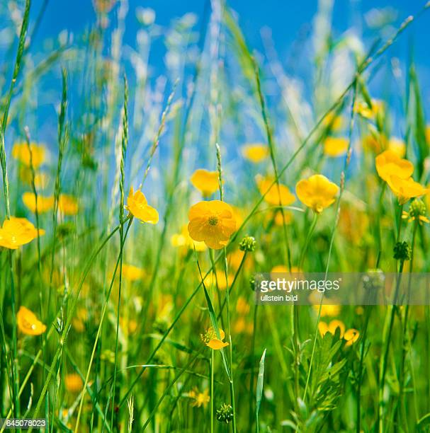 Plant Flower meadows creeping buttercup