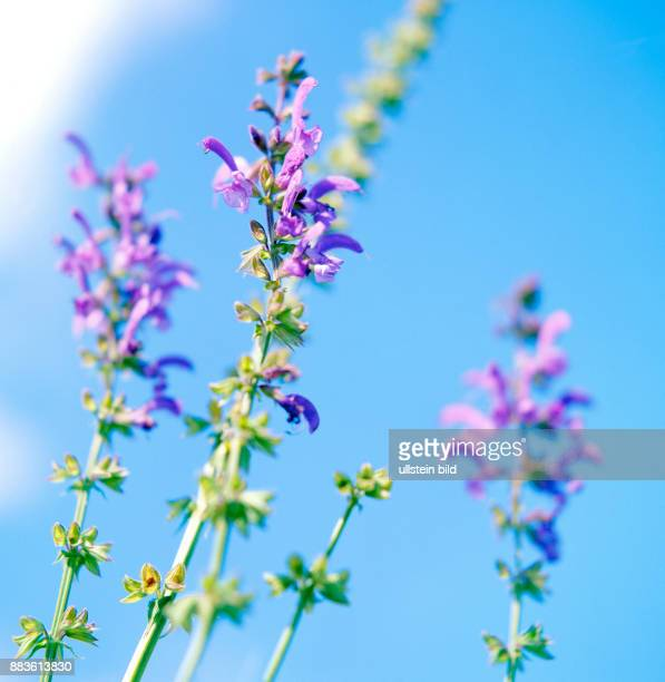 Plant Flower meadowsmeadow clary meadow sage